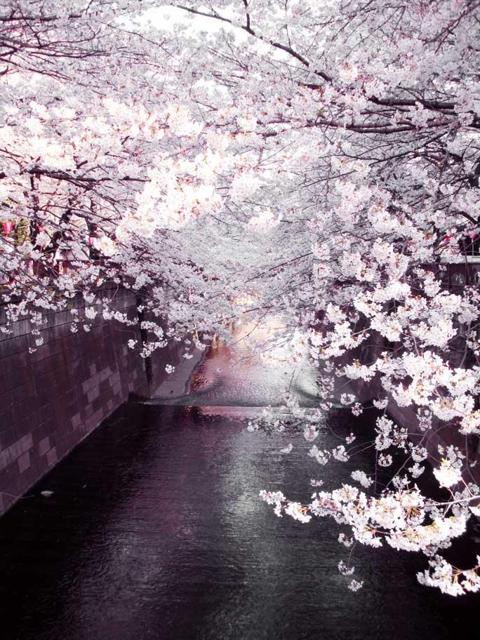 Sakura © Wendy Campbell