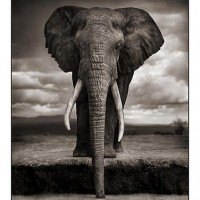 Elephant Drinking © Nick Brandt