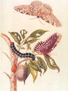 Metamorphosis-of-a-Butterfly-Maria-Sibylla-Merian